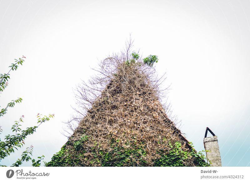 stark mit Pflanzen bewachsenes Haus verwuchert Efeu Giebel Dach urig Schornstein Wachstum Natur Fassade Kletterpflanzen verlassen