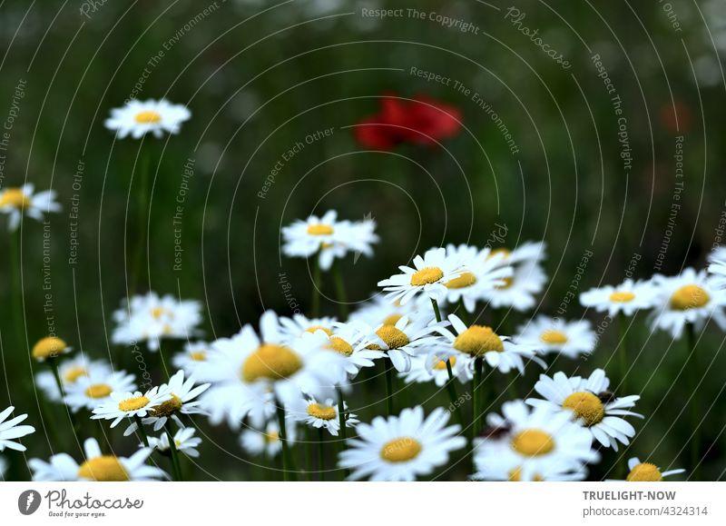 Leuchtend weissgelbe Margeriten haben sich in den Vordergrund gedrängt und der roten Mohnblume im unscharfen etwas düster grünen Hintergrund kaum eine Chance gelassen