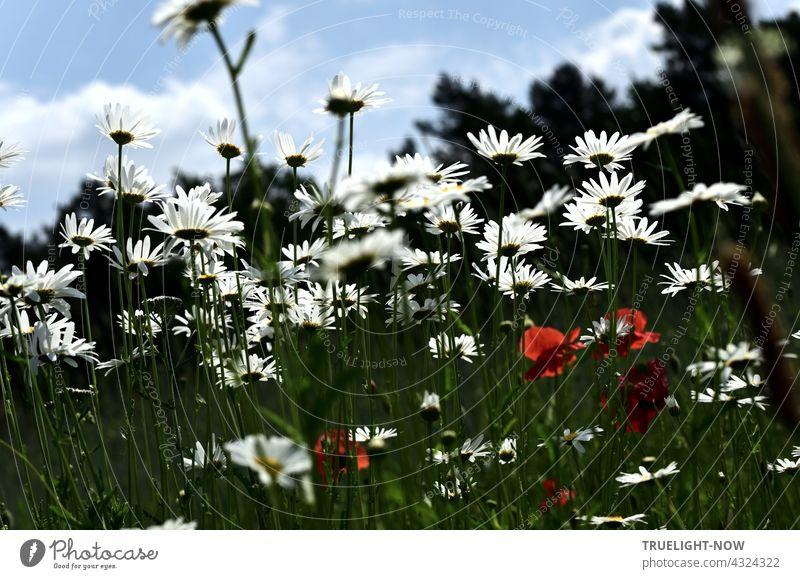 Bevor der Herbst kommt. Margeriten weiss, Mohn rot. Himmel blau, Wald schweigt. Wiese Blumen Untersicht Mohnblüten hellblau Wolken Waldrand unscharf dunkel