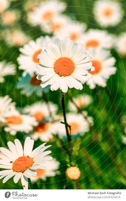Leucanthemum Blumen blühen in einer Wiese im Freien Pflanze Zierpflanze leucanthemum weiß Blütezeit Frühling Natur Margeriten Sommer Flora Botanik Garten