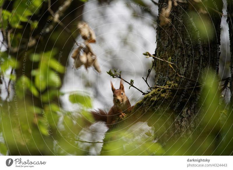 Europäisches Eichhörnchen (Sciurus vulgari) auf einem Baum und mit Blick zum Fotografen sitzend Nagetier Wald Natur Tierporträt Sciurus vulgaris rotes Säugetier