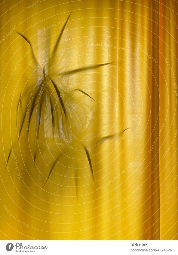 Palme hinter einem gelben Vorhang Gardine Faltenwurf Innenaufnahme geschlossen verdeckt Zimmerpflanze zugezogen Fenster Menschenleer Schatten Textilien