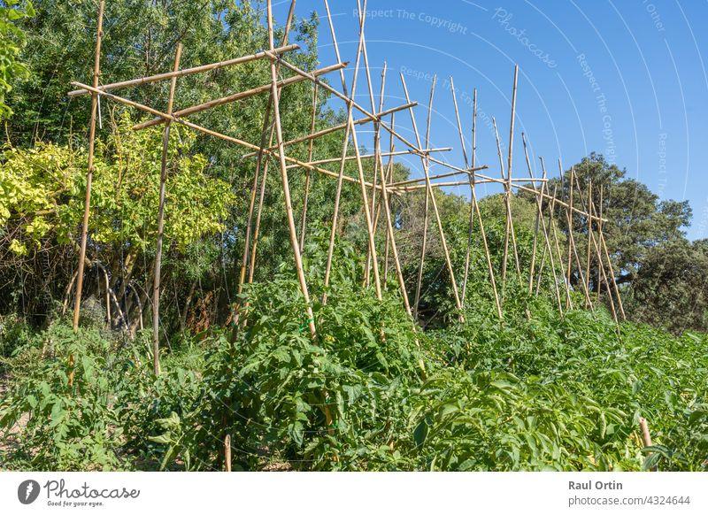 Tomatenpflanzen wachsen im Gemüsegarten. Pflanze Garten Feld wachsend Reifung Lebensmittel reif Ackerbau Wachstum Gartenarbeit Gewächshaus Haufen Gesundheit