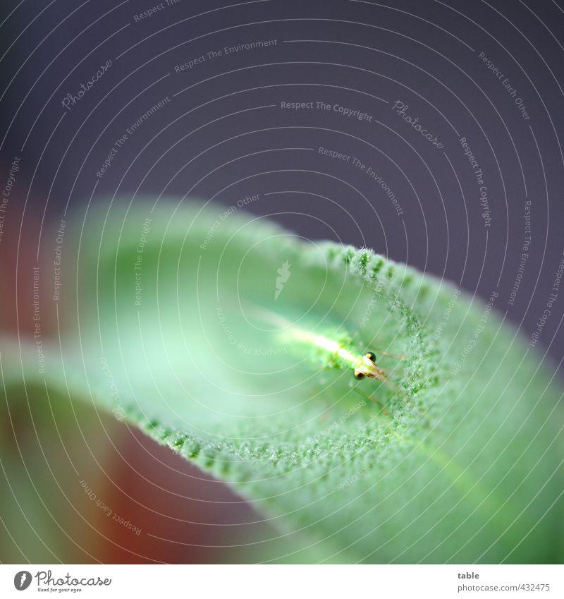 Florfliege an Salbeiblatt Natur grün Pflanze Sommer ruhig Tier Blatt Auge Frühling klein Gesundheit Garten Lebensmittel Idylle sitzen Wildtier
