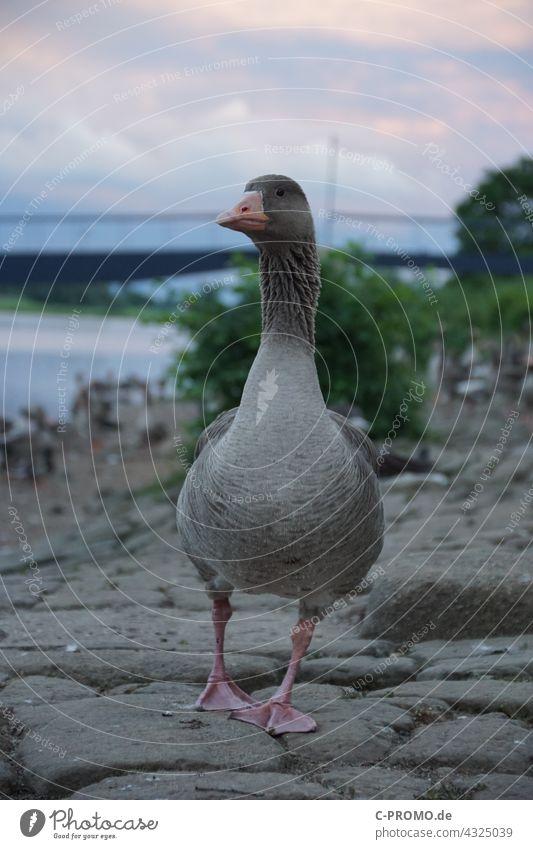 Wildgans ufer Stadt abendhimmel Brücke Portrait Vogel laufen Wildtier Schnabel Gefieder