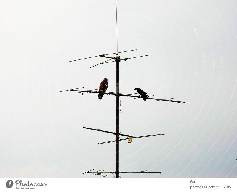 Hau ab! Raubvogel Krähe mutig Greifvogel Himmel Vogel Rabenvögel Antenne verteidigen sitzen Gefahr Mäusebussard