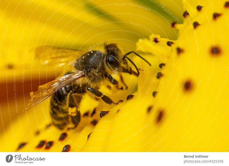 Biene sammelt Nektar auf Lilie Honigbiene gelbe Lilie Lilienblüte Flower Bee Insekt