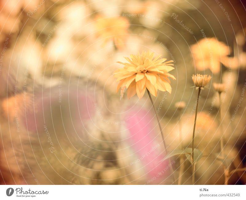 Zeitumstellung | Sommerzeit Blume Sträucher Blatt Blüte Garten Park Wiese Blühend Duft Wachstum Freundlichkeit frisch hell schön gelb grün rosa Farbfoto