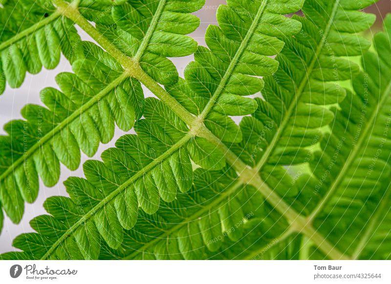 Nahaufnahme eines Farn Blattes Makroaufnahme Pflanze Natur Farbfoto Detailaufnahme grün Schwache Tiefenschärfe Grünpflanze Frühling Sommer Wachstum