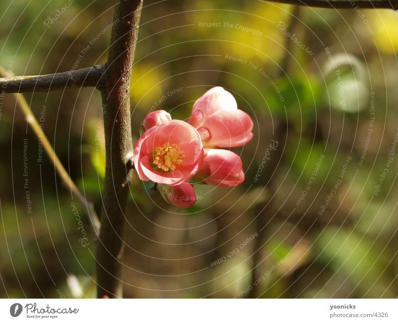 Blüte, Rosa Natur Blüte rosa Blütenknospen