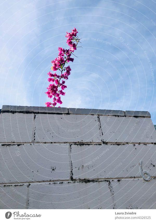 Nummer sechs und die Blume Zaun Hausnummer Ziegelzaun Backsteinwand rosa Blume weißer Zaun Ziffern & Zahlen Wand Fassade Baustein Schriftzeichen Pflanze