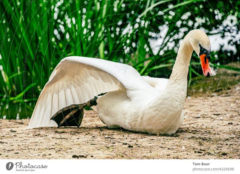 Ein Schwan der den Flügel streckt und dabei vor der grünen Uferbepflanzung im Sand sitzt strecken Beine Vogel Feder Wasser Wildtier weiß See Außenaufnahme