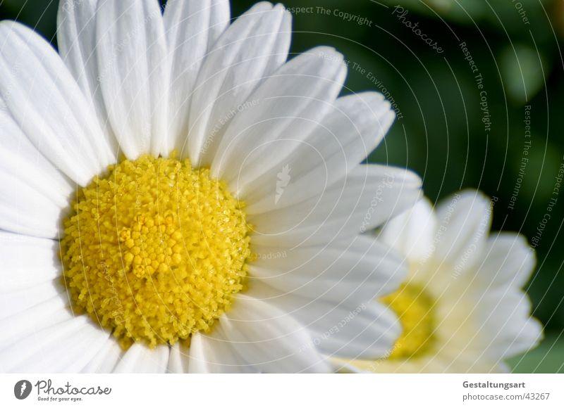 Ich will vorne sein! Pflanze Blume Blüte Margerite Frühling Sommer Wiesenblume gelb weiß Makroaufnahme Nahaufnahme Blühend Sonne