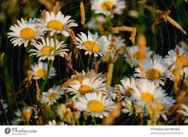 Margeriten und Gräser im weichen Abendlicht Margeritenwiese Wiese Wildblumen Wildblumenwiese Natur Sommer blühend schön wunderschön Insektenschutz Pollenspender
