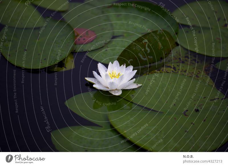 Seerose Seerosen Blüte Wasser Seerosenblüte Ruhe ruhig stille Einsamkeit allein alleine Pflanze Natur einsam Stille Außenaufnahme Farbfoto Menschenleer Sommer