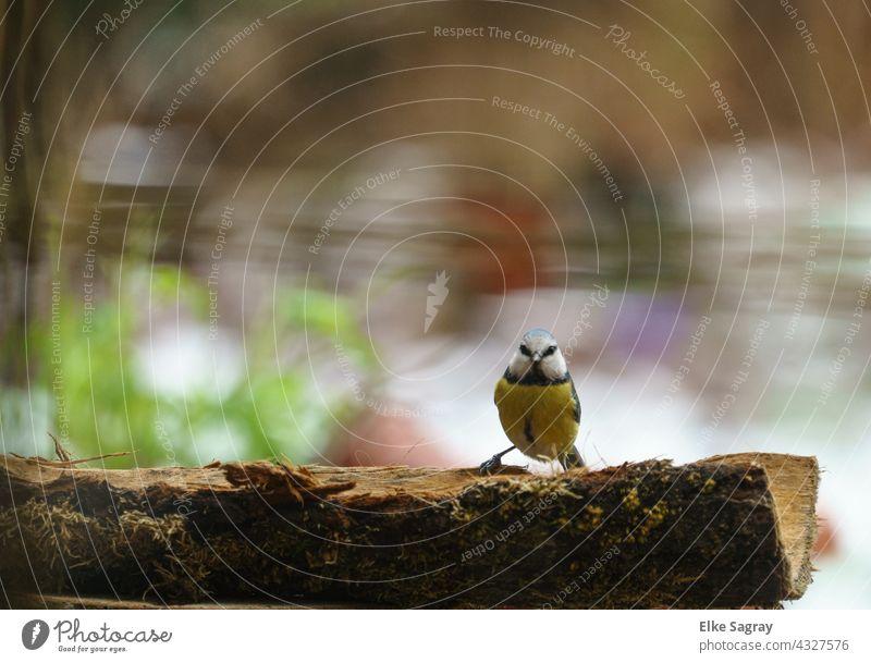 Vogelfotografie Blaumeise am Ast Farbfoto Vögel Außenaufnahme Menschenleer Tierporträt Textfreiraum oben Textfreiraum rechts