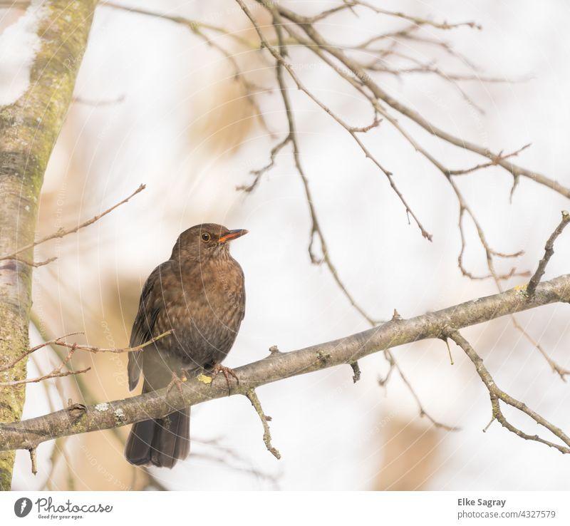 Vogelfotografie  Drossel schauend auf  einem Ast Natur Baum Außenaufnahme Tag Menschenleer Farbfoto sitzen Pflanze Wildtier Textfreiraum oben