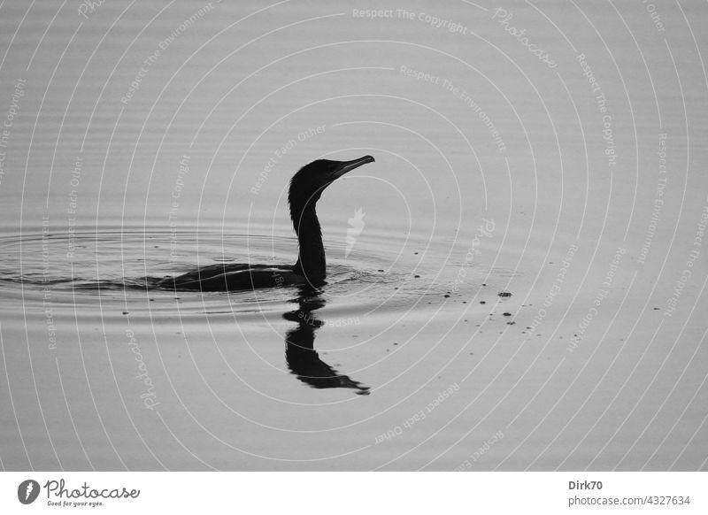 Kormoran schwarz-weiß schwimmen schwimmend Wasservogel Vogel Tier Natur Außenaufnahme See Umwelt Schwimmen & Baden Menschenleer Im Wasser treiben Teich Tag