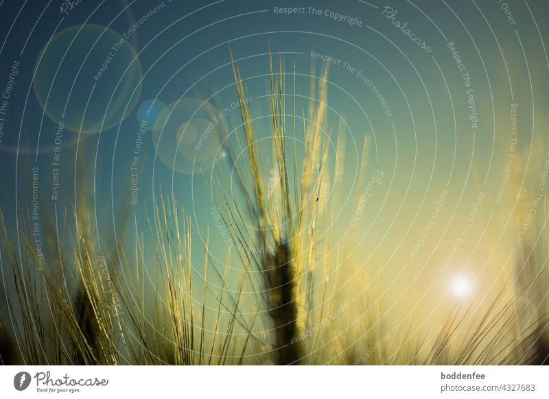 Die Grannen der Gerstenähren funkeln golden im abendlichen Gegenlicht der tiefstehenden Sonne Gerstengrannen Abendsonne