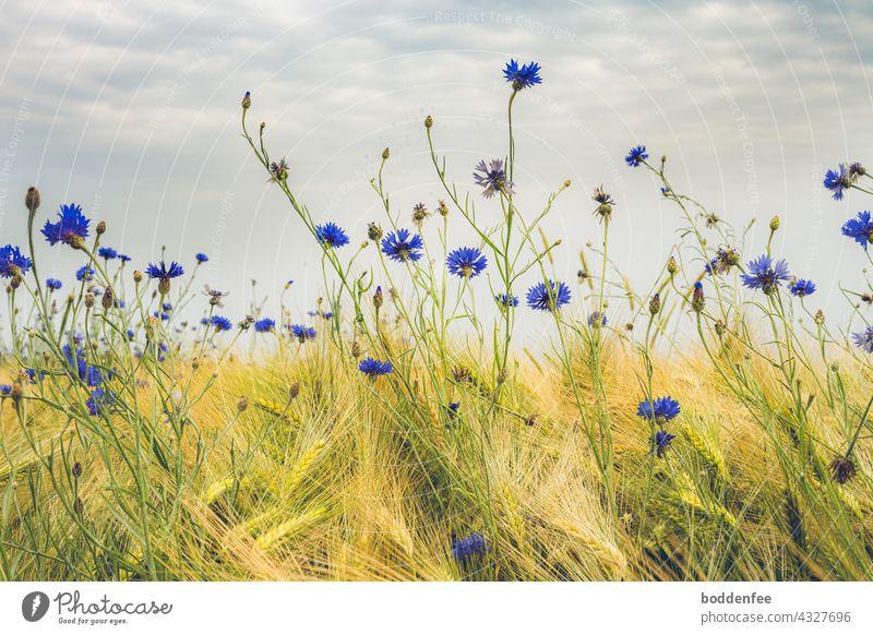 Kornblumen am Rande eines Gerstenfeldes vor leicht bewölktem Himmel Feld Getreidefeld gelb blau