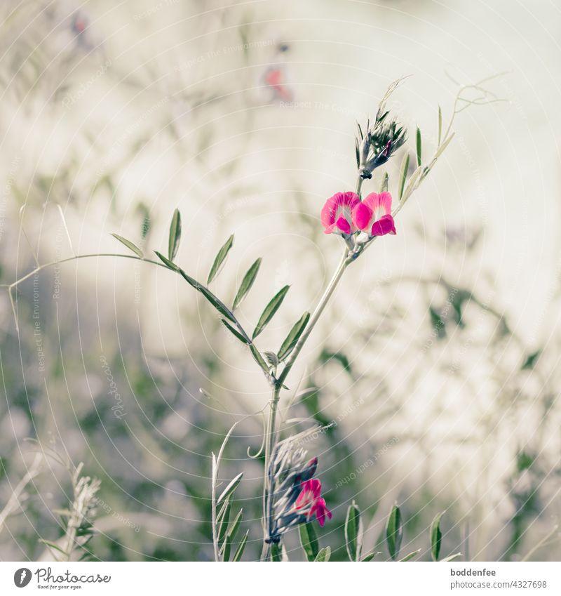 Wilde Wicke mit pinkfarbenen Schmetterlingsblüten, geringe Schärfentiefe wilde Wicke Nahaufnahmen Wiesenblume Außenaufnahme