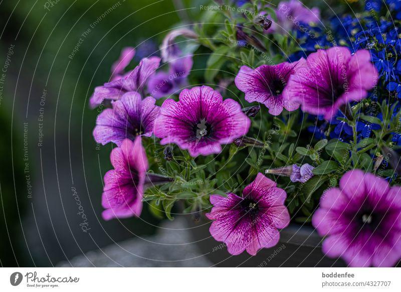 lilafarbene Petunien in einer Schale, Nahaufnahme, verschwommener Hintergrund Petunienblüten Balkonpflanzen Außenaufnahme violett