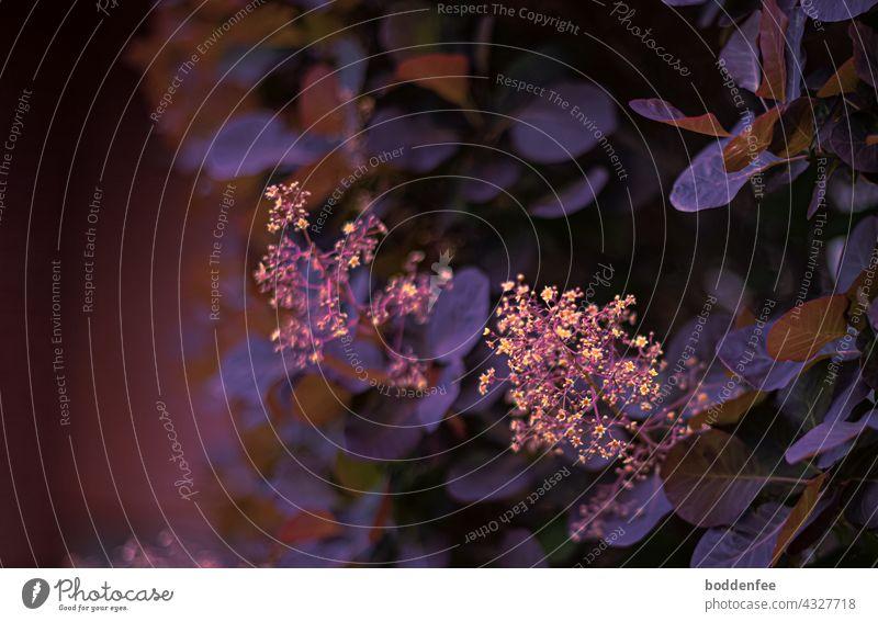 Blütenstände eines Perückenstrauches mit violett-rotbraunen Blättern im Abendlicht Blütenstand Strauch blühender Strauch lila