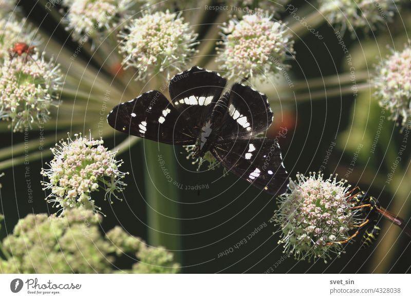 Araschnia levana, Landkärtchen. Angelica sylvestris, Wilde Brustwurz, Wald-Engelwurz. Ein schwarzer Schmetterling sitzt auf einer weißen Blüte einer Schirmpflanze. Schmetterling Blume Nahaufnahme im Freien.
