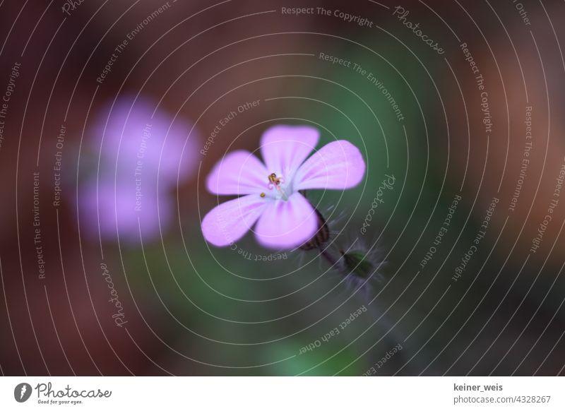 Lila Blume im Garten oder die Blüte des Storchschnabel lila einzeln Unschärfe geringe Tiefenschärfe Querformat Wildnis Botanik violett Natur Pflanze