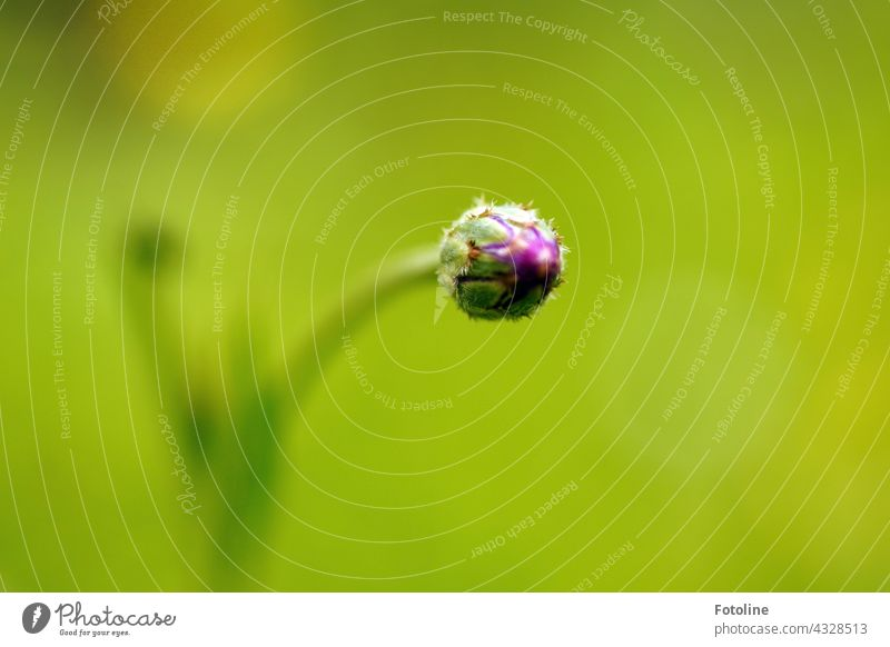 Gärtnern für Anfänger V - Ich werde eine lila Kornblume! Blume Steingarten Pflanze Natur Außenaufnahme Farbfoto Menschenleer Tag Garten Blüte grün