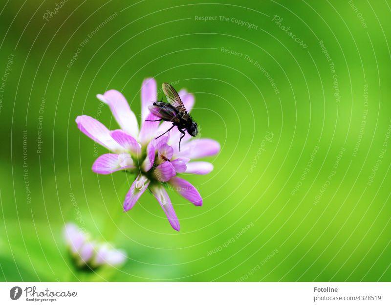 Gärtnern für Anfänger VI - Klee bekommt Besuch von einer Fliege. Blume Steingarten Pflanze Natur Außenaufnahme Farbfoto Menschenleer Tag Garten Blüte grün
