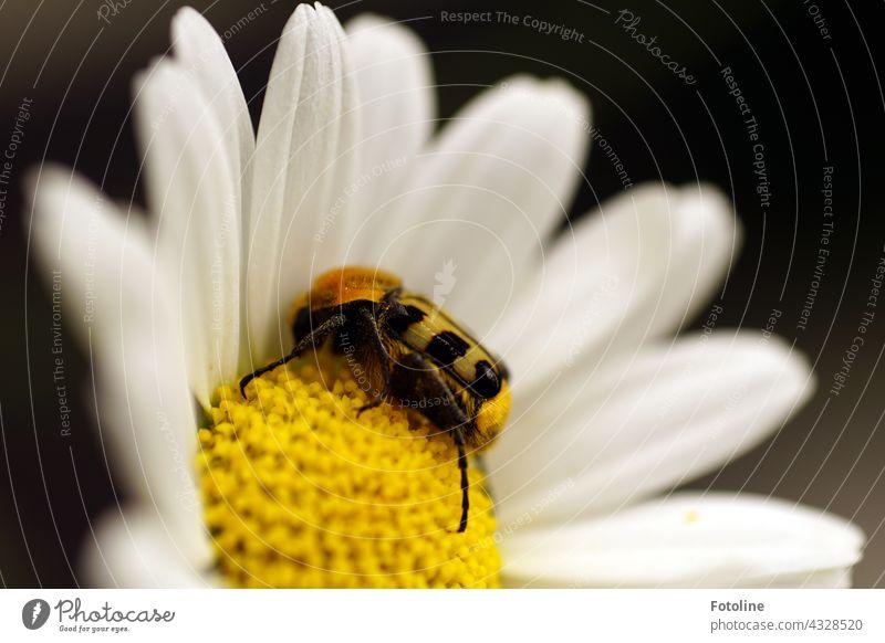 Gärtnern für Anfänger VII - Die edle Margerite hat Besuch von einem merkwürdigen Käfer. Er scheint sie lieb zu haben. Es ist übrigens ein gebänderter Pinselkäfer.