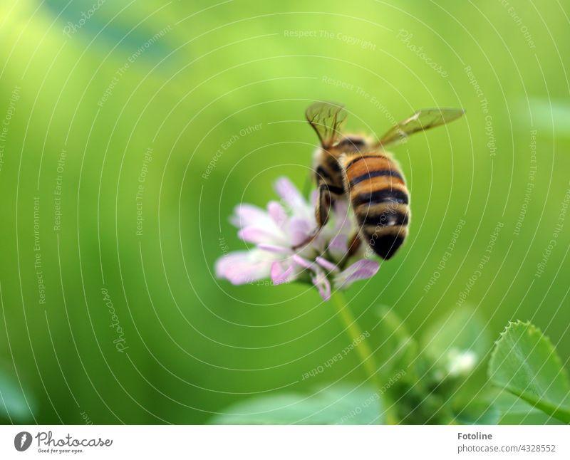 Fotolines Blühwiese ist einfach ein Paradies für Bienen und Hummeln. Fleißig sammelt die Honigbiene auf der Blüte Pollen. Insekt Blume Sommer Makroaufnahme