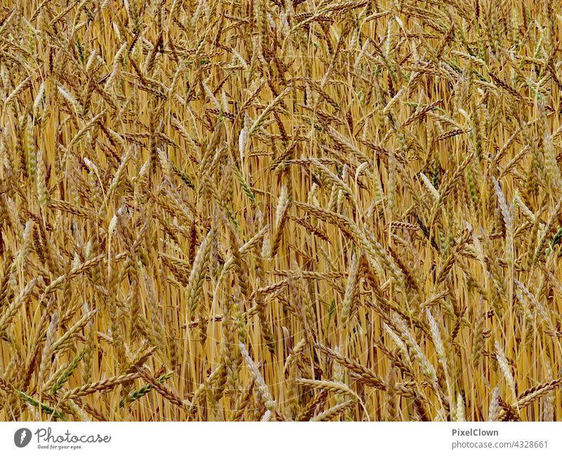 Getreide Ähren Pflanze Getreidefeld Natur Ackerbau Kornfeld Landwirtschaft Lebensmittel Nutzpflanze Feld Sommer Menschenleer