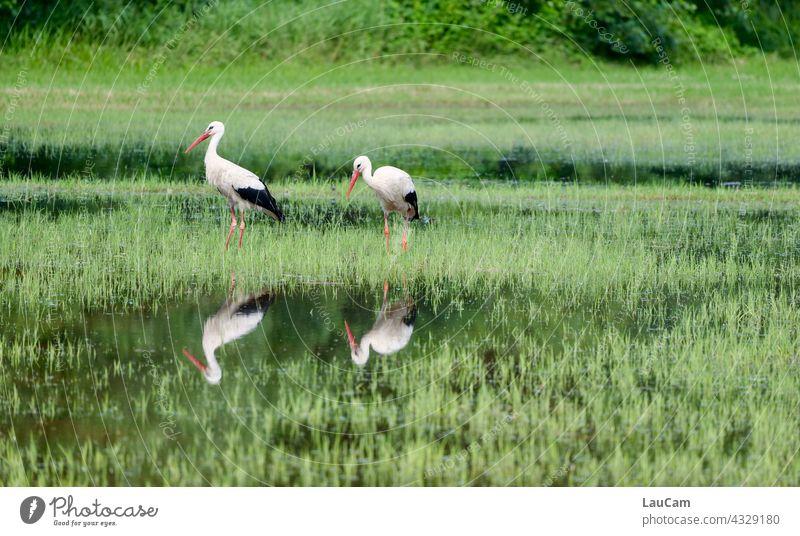 Spiegelung zweier Störche im Tegeler Fließ Storch Storchenpaar Spiegelbild Spiegelung im Wasser Reflexion & Spiegelung Wasserspiegelung Natur ruhig Idylle See