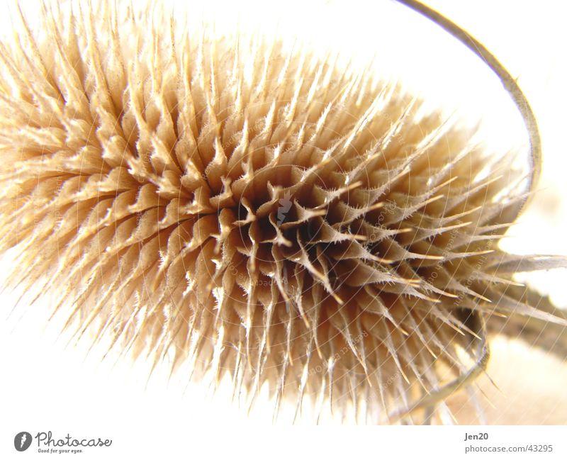 Distel Pflanze Strukturen & Formen Detailaufnahme Spitze Natur