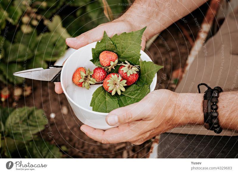 Menschliche Hände halten reife Erdbeeren in einer weißen Schale. Beeren ernten. Landwirte männliche Hände pflücken frische rote Erdbeeren im Garten. Bio-Diät fettfreies, kalorienarmes Produkt. Nahaufnahme