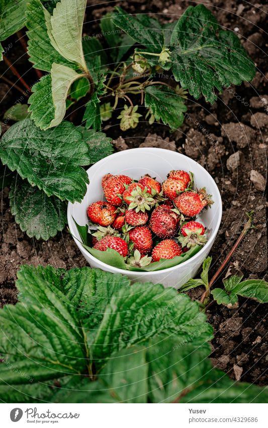 Süße saftige frische Erdbeeren in einer weißen Schale auf einem Hintergrund von grünen Blättern. Bio-Bauernkost. Saisonales Antioxidans und Entgiftungsnahrung. Cholesterinfreie, kalorienarme Diätkost. Vertikale Aufnahme
