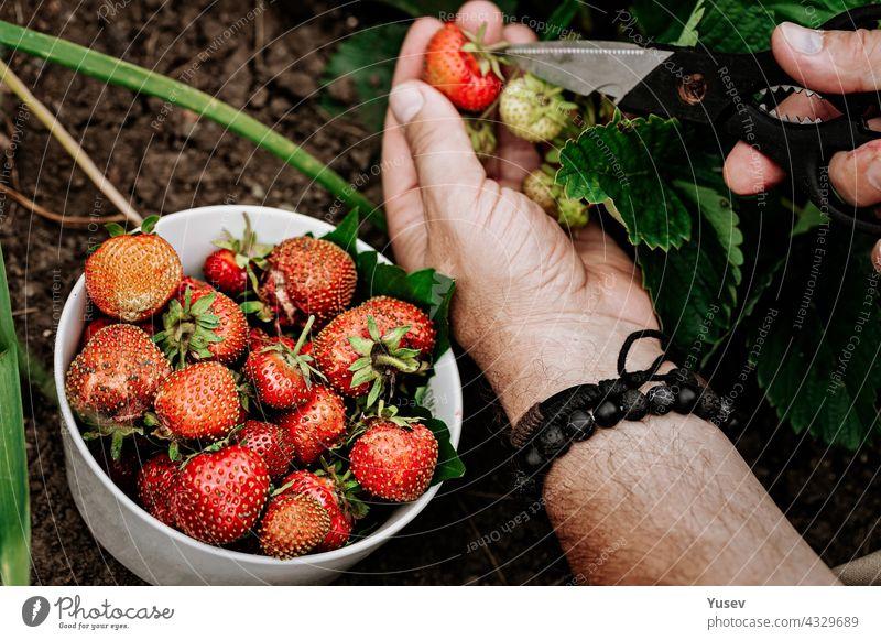 Landwirte männliche Hände pflücken frische rote Erdbeeren im Garten. Menschliche Hände in den Rahmen. Ernten von Beeren der Saison. Fettfreies, kalorienarmes Bio-Produkt. Saisonales Antioxidans und Entgiftungsnährstoff.