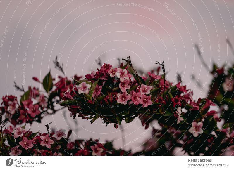 floraler Bogen weigela hybrida rosea Makro Garten Mode offen rosa Prinzessin urban Roséwein Blatt Blume drucken Landwirtschaft caprifoliaceae natürlich Natur