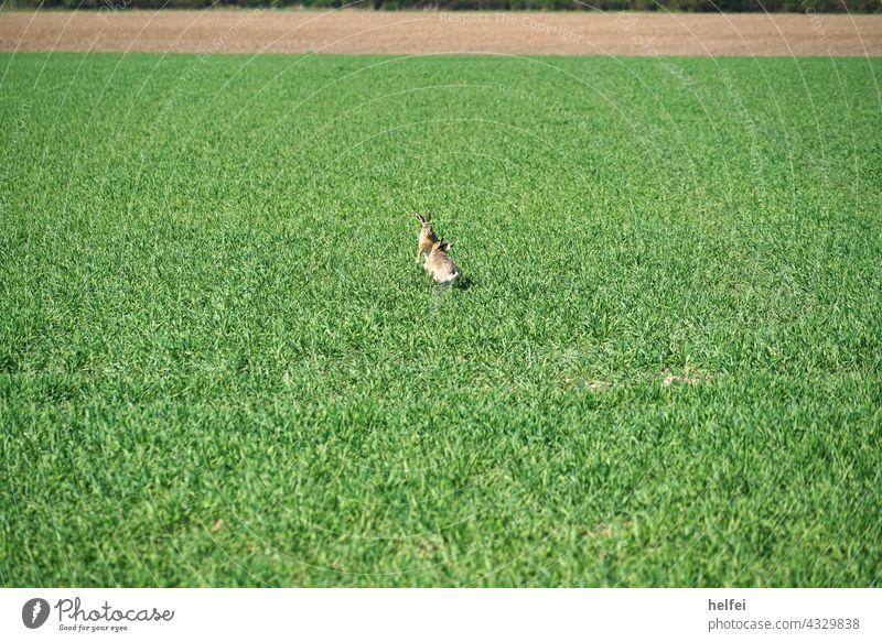 Wildhasen beim Revierkampf im Frühling in einem Feld Hase revierkampf Hase & Kaninchen Außenaufnahme Feldhase schnell Nagetiere Europäischer Hase Tier Farbfoto