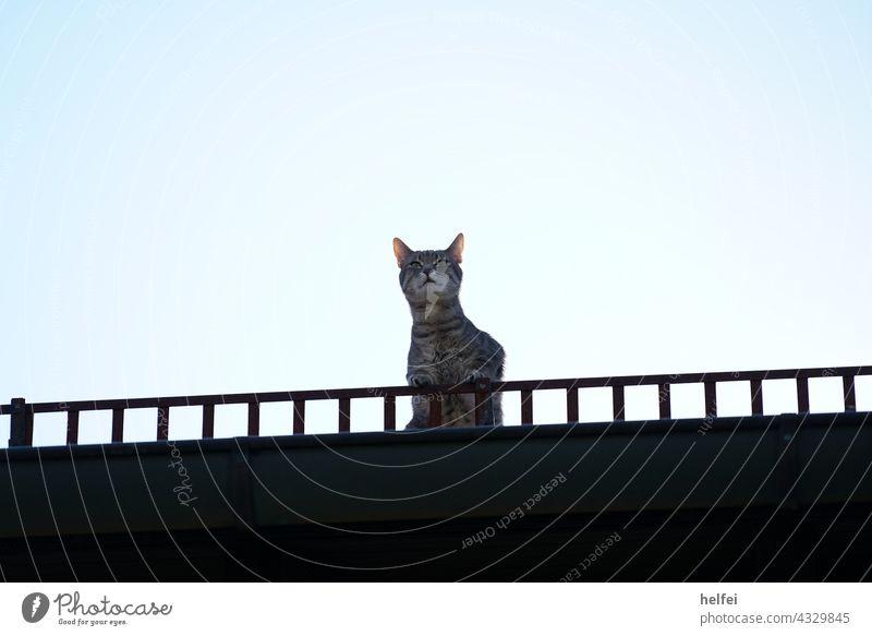 Katze auf dem Hausdach, auch Dachhase genannt mit Blick in die Ferne Haustiere hausdach Ausblick ferne in die Kamera schauen Fell Ein Tier bezaubernd grau