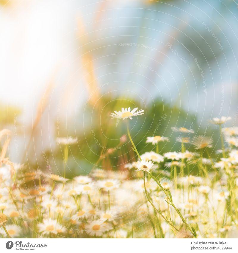 Auf der Margeritenwiese ... Wiese Wildblumen Wildblumenwiese Natur Sommer blühend schön wunderschön Insektenschutz Pollenspender weiß gelb hellblau