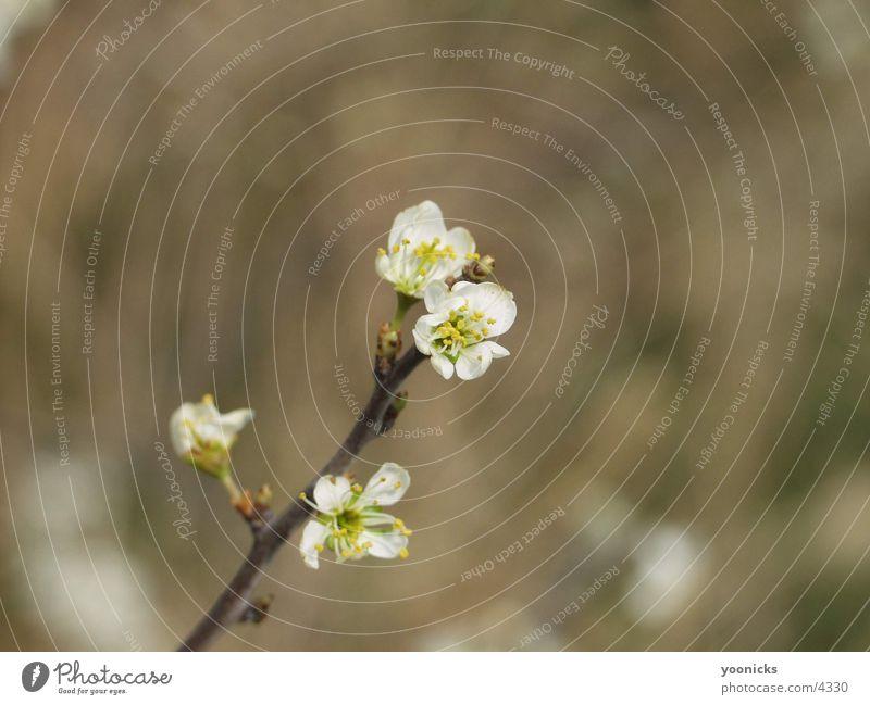 Weisse Blüte Baum weiß gelb nah Ast Zweig