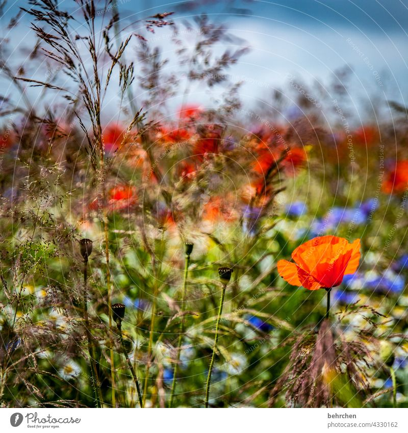 weil montag mo(h)ntag ist Himmel Wolken kornblumen Gräser blühen Blüte Feld Blütenblatt grün Wildpflanze Pflanze Duft Natur duftend Pollen mohnblumen sommerlich