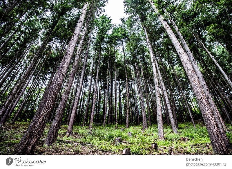 schräge bäume Außenaufnahme Umwelt Wald Farbfoto Landschaft Natur Baum Baumstamm Bäume Nadelwald Hunsrück Forstwirtschaft Holz Pflanze Umweltschutz Nadelbaum