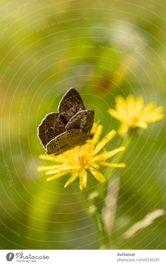 Makro Aufnahme eines braunen Schmetterlings auf gelber Blüte Aphantopus hyperantus Schornsteinfeger Blume Natur Wiese blühen Nektar flattern
