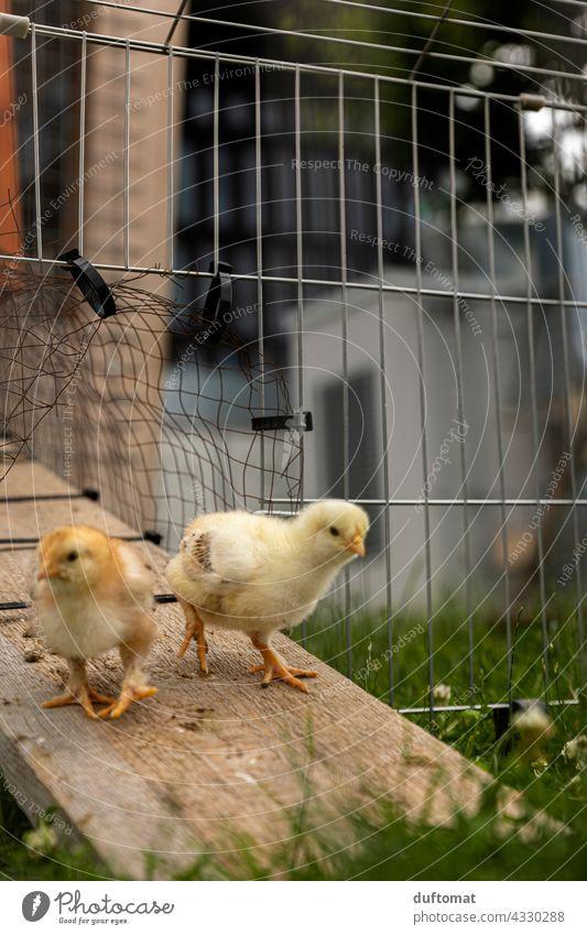 Zwei Hühner Küken kommen aus dem Stall Huhn Hühnchen klein Kind Nachwuchs Vogel Tier Tierporträt Tierjunges Nutztier Haushuhn Bauernhof Haustier Geflügel
