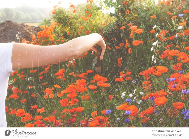 Mohn und Kornblumen mit dem Smartphone fotografieren Klatschmohn Papaver rhoeas Mohnblüte Mohnwiese rot blau fotografieren mit dem Smartphone Arm junge Frau