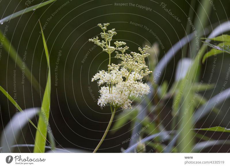 Die Blüten der Mädesüßpflanze blüht Bachufer Filipendula ulmaria Kraut Überstrahlung Textfreiraum Färbeanlage Blumen Duft Wiesenkraut Heilpflanzen Natur